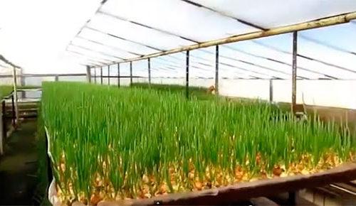 Бизнес идея выращивание зеленого лука